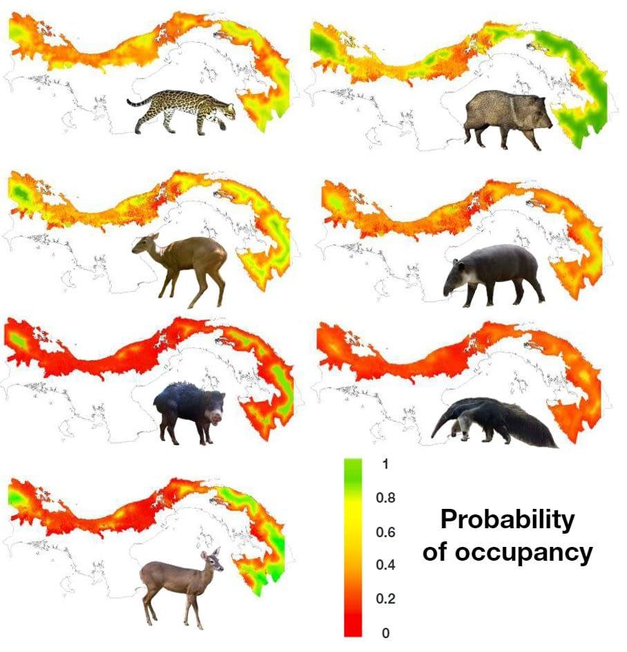 Probability of Occupancy Panama